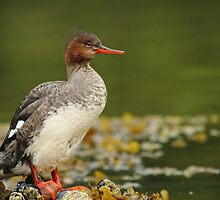 Water Off A Ducks Back by CBoyle