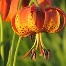 Sunset Orange Lily by lorilee