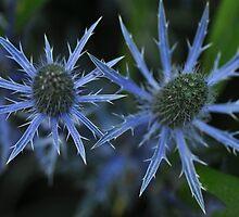 Sea Holly - Eryngium zabelii 'Big Blue' by Poete100