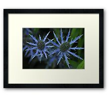 Sea Holly - Eryngium zabelii 'Big Blue' Framed Print