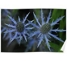 Sea Holly - Eryngium zabelii 'Big Blue' Poster