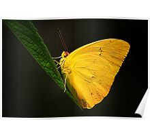Orange Banded Sulphur Butterfly Poster