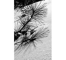 Sapling in the Snow Photographic Print
