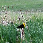 Yellow-headed Blackbirds by UnknownSpecies