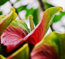 Flamingo Flower by Laura Palazzolo