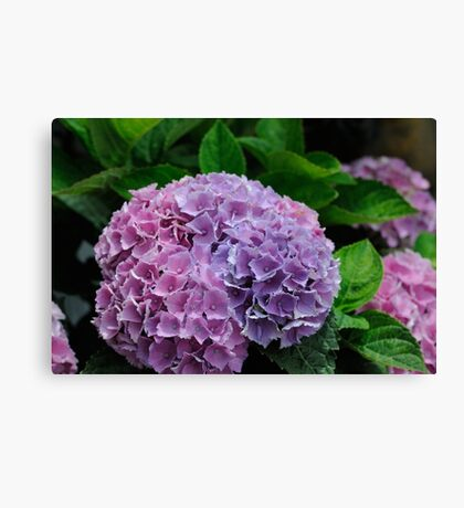 Blue and Red Hydrangea Canvas Print