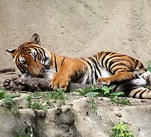 My Stick - Malayan Tiger Cincinnati Zoo by wittykitsune