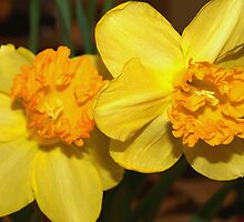 Two yellow daffodils by ♥⊱ B. Randi Bailey
