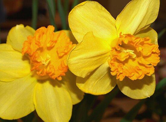 Two yellow daffodils by ♥⊱ B. Randi Bailey
