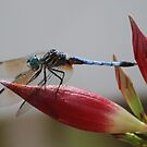 Dragonfly--Black Tailed Skimmer by Betty Maxey