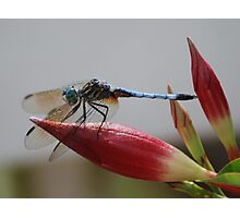 Dragonfly--Black Tailed Skimmer Photographic Print