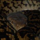 Scrub python  by NickBlake