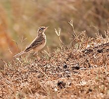 paddy field pipit by Shilpa Harolikar