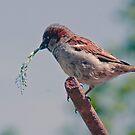 Sparrow by David Freeman