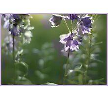 Backlit Delphinium Photographic Print