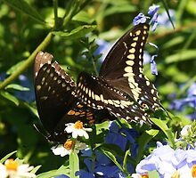 Butterflies Mating by Paulette1021