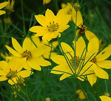 Coreopsis by vigor