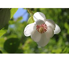 When a Magnolia flowers - JUSTART © Photographic Print