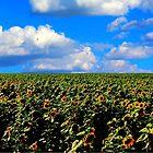 Sunflower Extravaganza by Larry Trupp