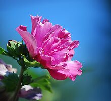 Rose by Kathy Nairn