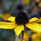 Artsy Black Eyed Susan Art  by naturesfancy