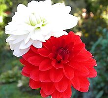 Colorful Red and White Dahlias by naturesfancy