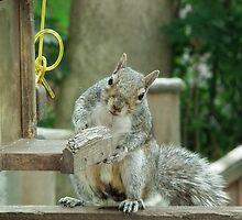 Squirrel 4 - please sir can I have some more? by Peter Barrett