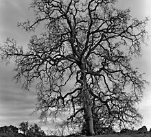 Lone Oak by Jeffrey  Sinnock