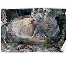 Mackenzie Valley Wolf - (Canis lupus occidentalis) Poster