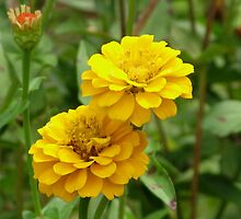 Yellow Zinnias Art by naturesfancy
