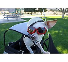 Chihuahua Keeping an 'Ear' Out for Danger Photographic Print