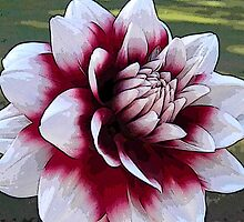Red and White Dahlias Design by naturesfancy