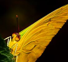 Orange Banded Sulphur Butterfly Close Up by John Absher