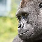 gorilla watching on by ClaireTiltman