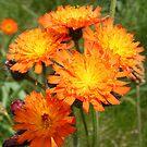 bright as the sun - orange wildflowers by monkeyferret