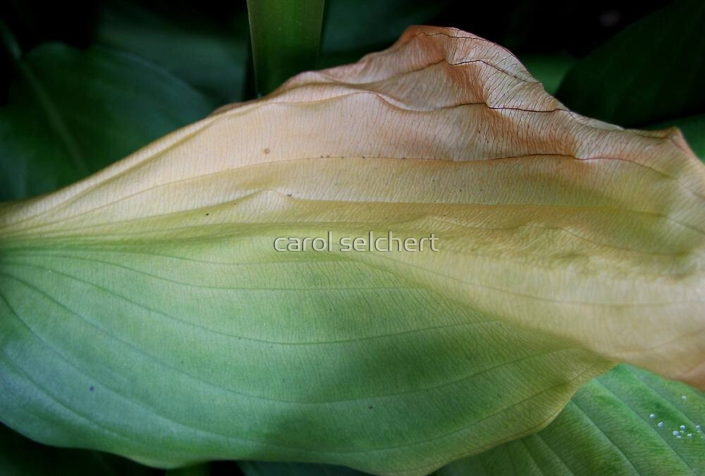 Hosta close up by carol selchert