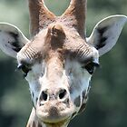 giraffe at port lympne zoo by ClaireTiltman