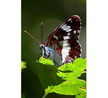 White Admiral (Limenitis camilla) Photographic Print