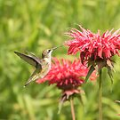 Ruby Throated Hummingbird by Thomas Young