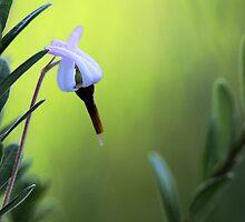 Bog Cranberry Flower - Brownfield Bog by T.J. Martin