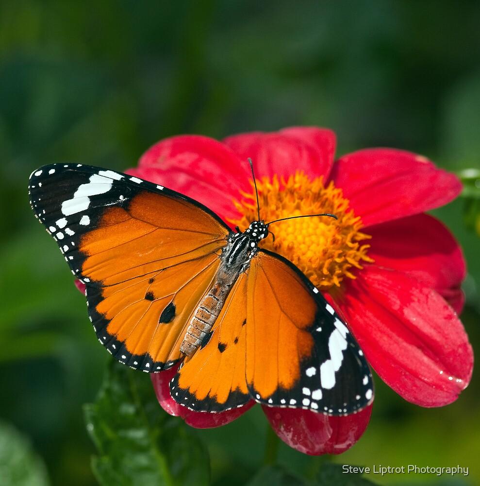 Monarch Butterfly (Danaus plexippus) by Steve  Liptrot