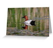 Canvasback Greeting Card