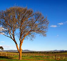 Springtime sunshine in the Barossa Valley by John Wallace
