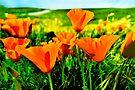 Poppy field by LudaNayvelt