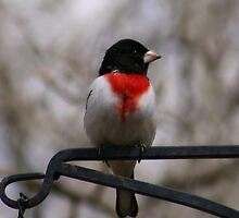 Rose Breasted Grosbeak by Larry Trupp