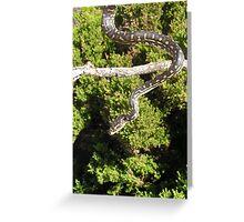 South-Western Carpet Python (Morelia spilota imbricata) Greeting Card