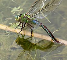 Female Emperor Dragonfly (ovipositing) by DutchLumix