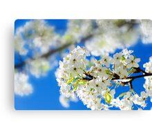Spring white cherry flowers Canvas Print