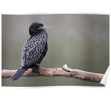 Little Black Cormorant - Blue Eyes Poster