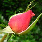 Rose Bud by KAVU